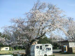 印旛沼サンセットヒルズの大桜