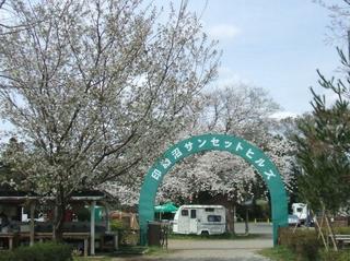 オートキャンプサイトの桜